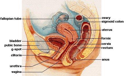 diagram of female sexual anatomy